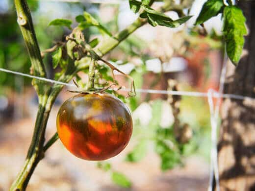 Vine-ripened tomatoes in the middle of January