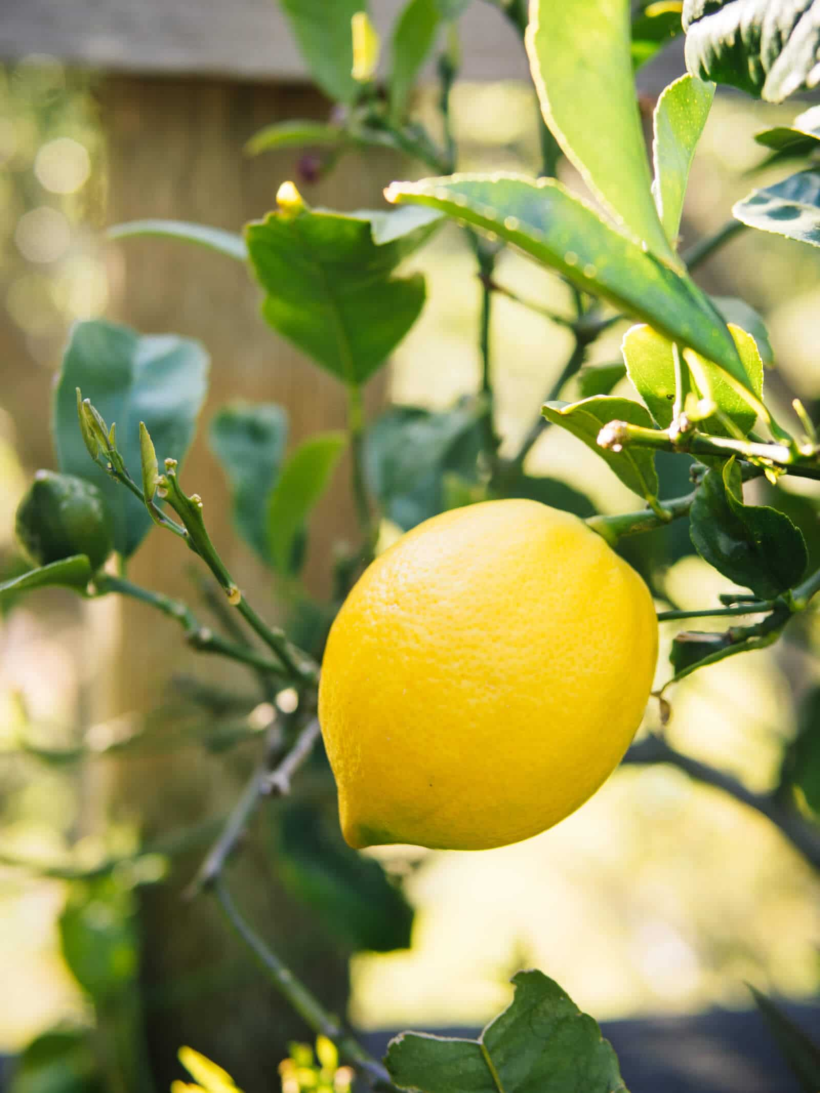 Lemon is a natural immune booster with antioxidant, antiviral, and antifungal benefits