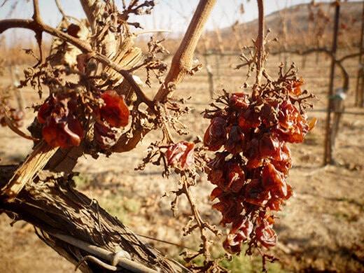Raisins on the vine