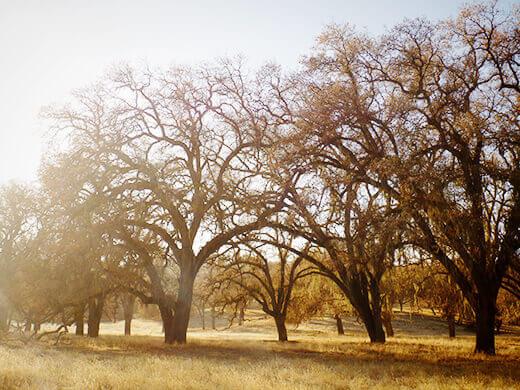 Oaks in winter