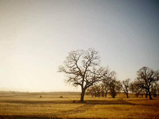 Winter oaks on Jolon Road