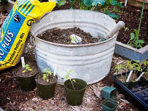 Transplanting tomato seedlings