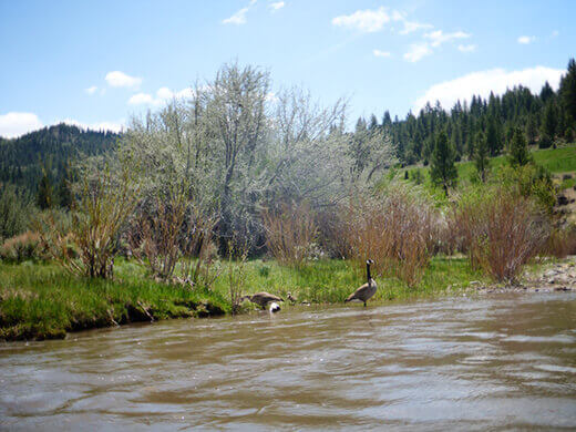 Water fowl on the East Fork Carson River
