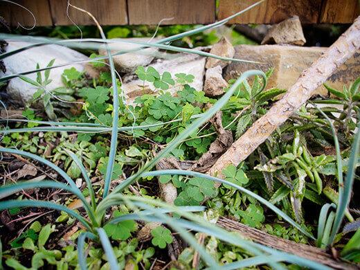 Weeds between the desert plants