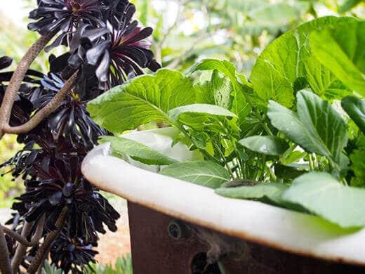 Portuguese kale in clawfoot tub