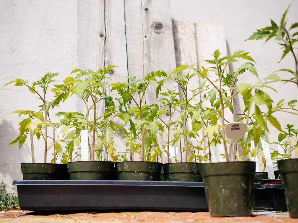 Tomato seedlings hardened off