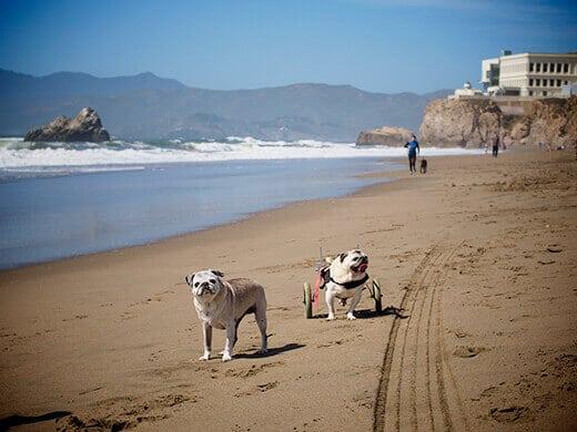 Pugs at Ocean Beach