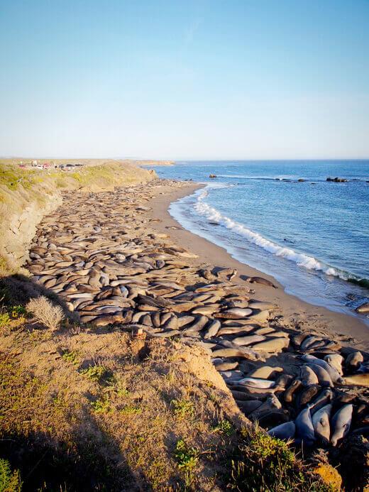 Elephant seal colony in Piedras Blancas