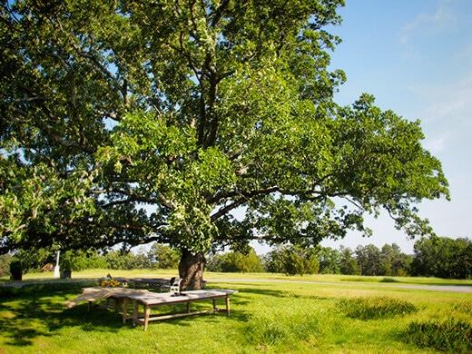 My favorite oak
