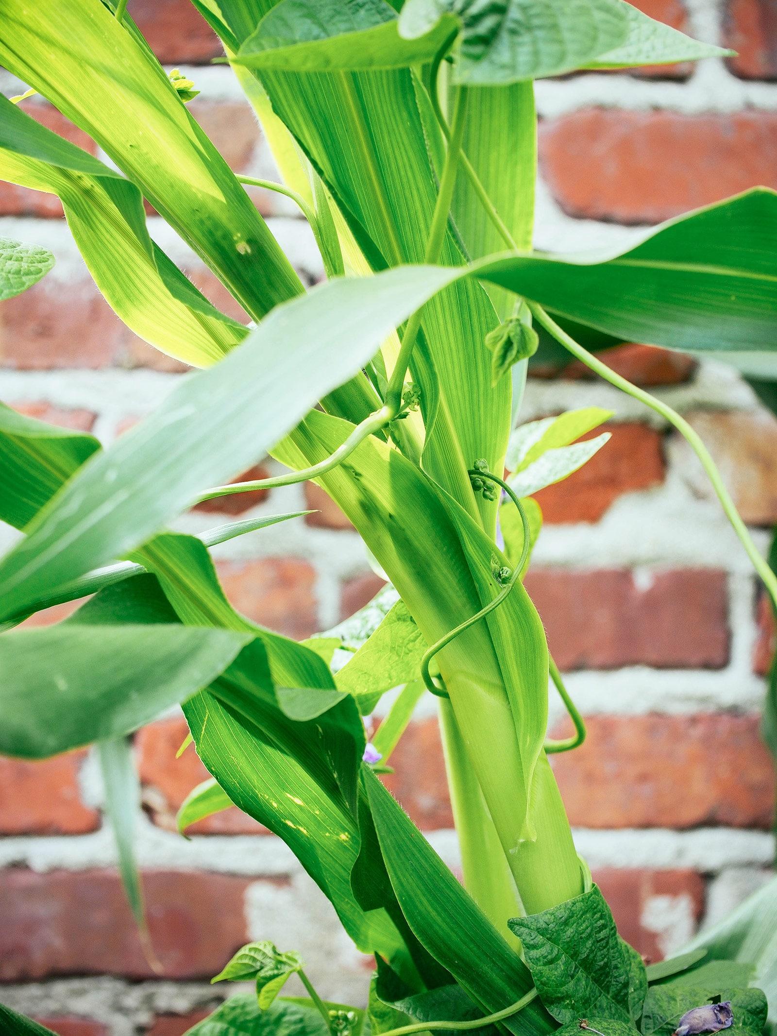 Beans climbing up a corn stalk