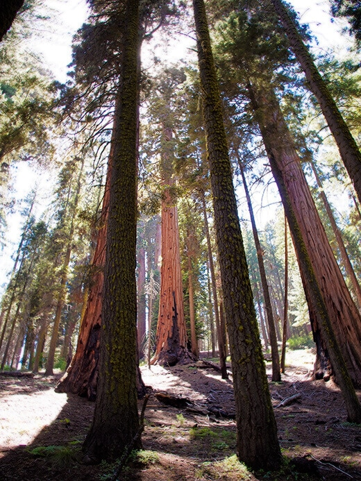 Sequoias in the Giant Forest