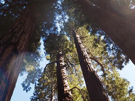 Canopy of sequoias