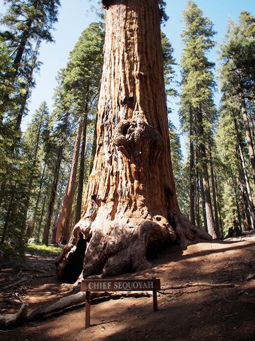 Chief Sequoyah tree