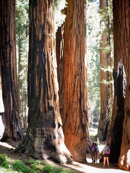 The Senate group of sequoias