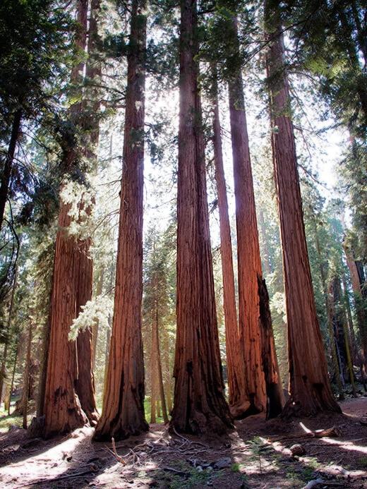 Cluster of sequoias