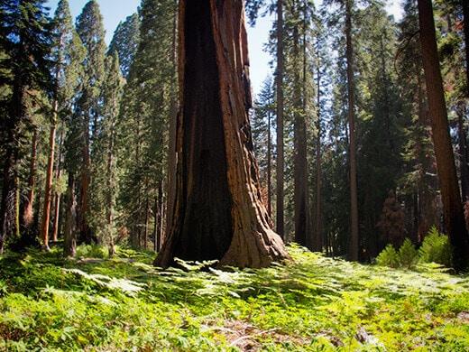 Sequoia in a field of ferns