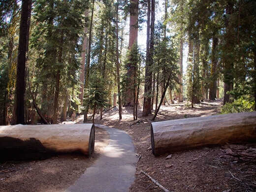 Sequoia on the Congress Trail