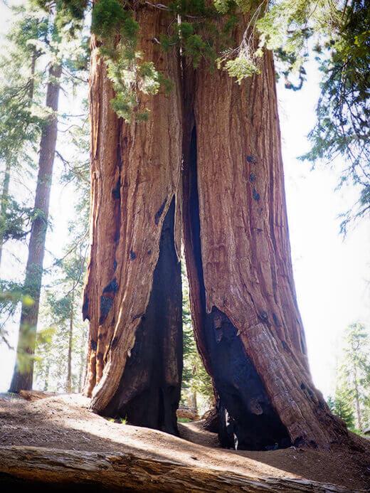 Fire-damaged sequoia