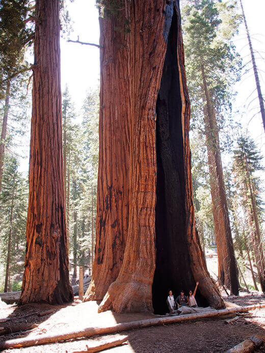 Standing inside a burnt sequoia