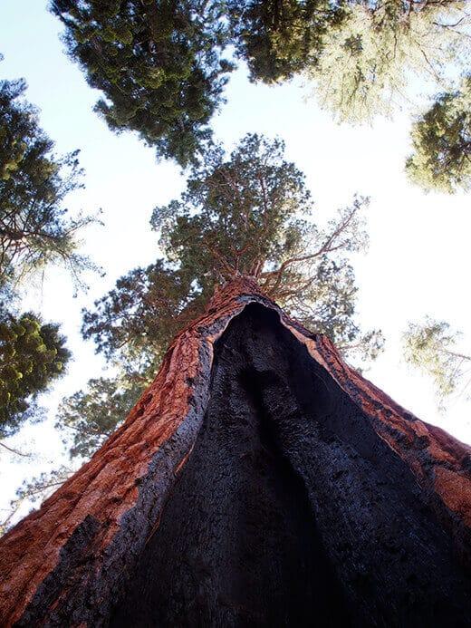 Burnt sequoia