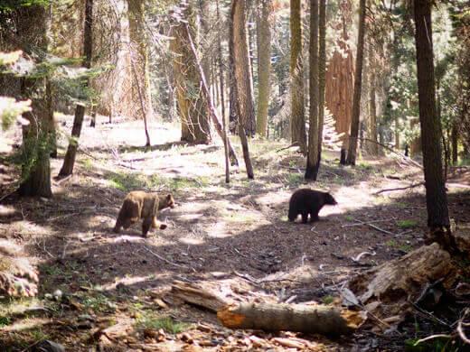American black bears in Sequoia