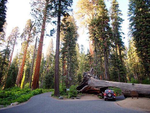 Driving through a fallen sequoia log