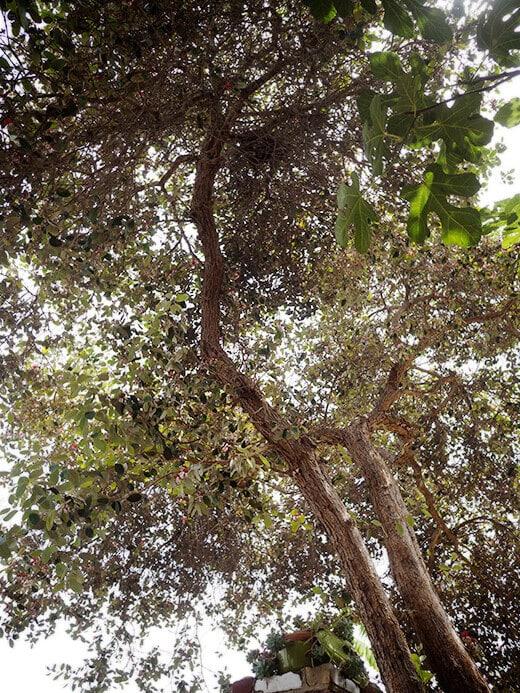 Feijoa shrub trained into a large tree