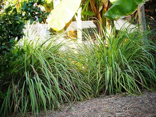 Lemongrass shrubs