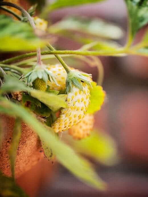 How sweet it is: Yellow Wonder alpine strawberries
