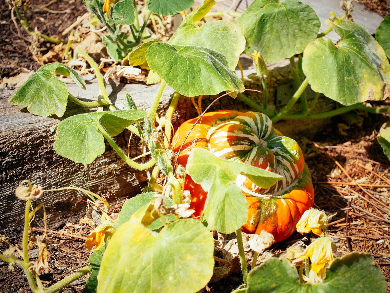 Fully mature winter squash on a vine