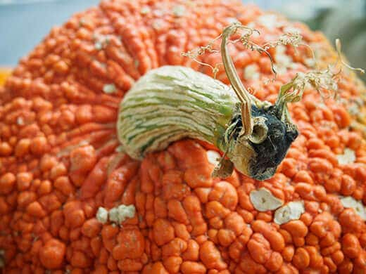 Half pumpkin, half goat