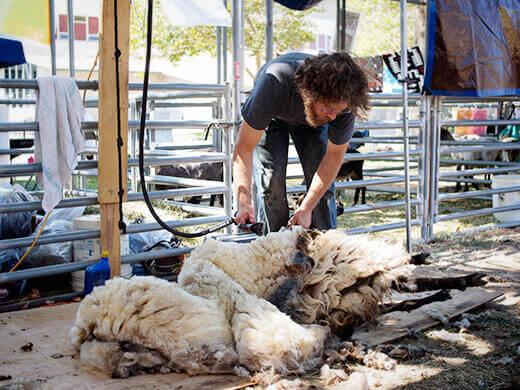Shearing a sheep