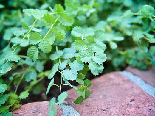Delicate salad burnet leaves with a cucumber-like flavor