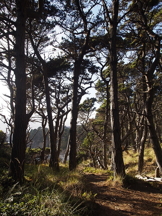 Tangle of oaks and pines