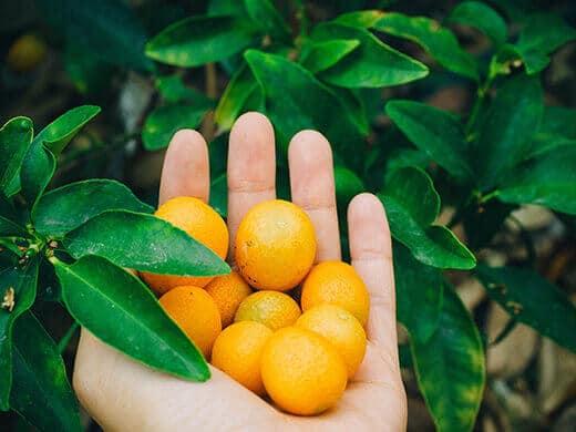 Freshly picked kumquats