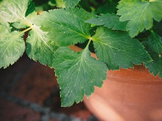 Trefoil leaves on mitsuba