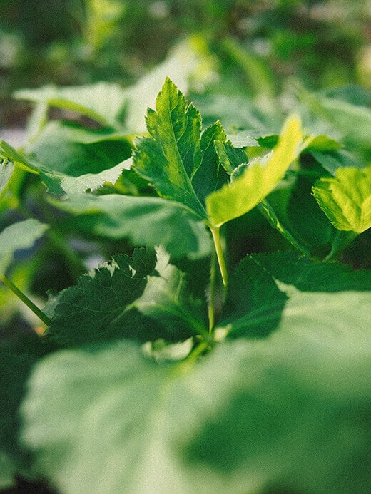 Mitsuba herb