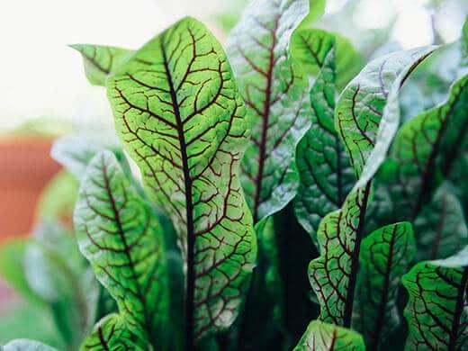 Rumex sanguineus herb