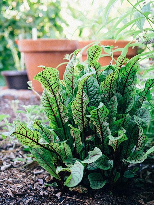 Bloodwort herb