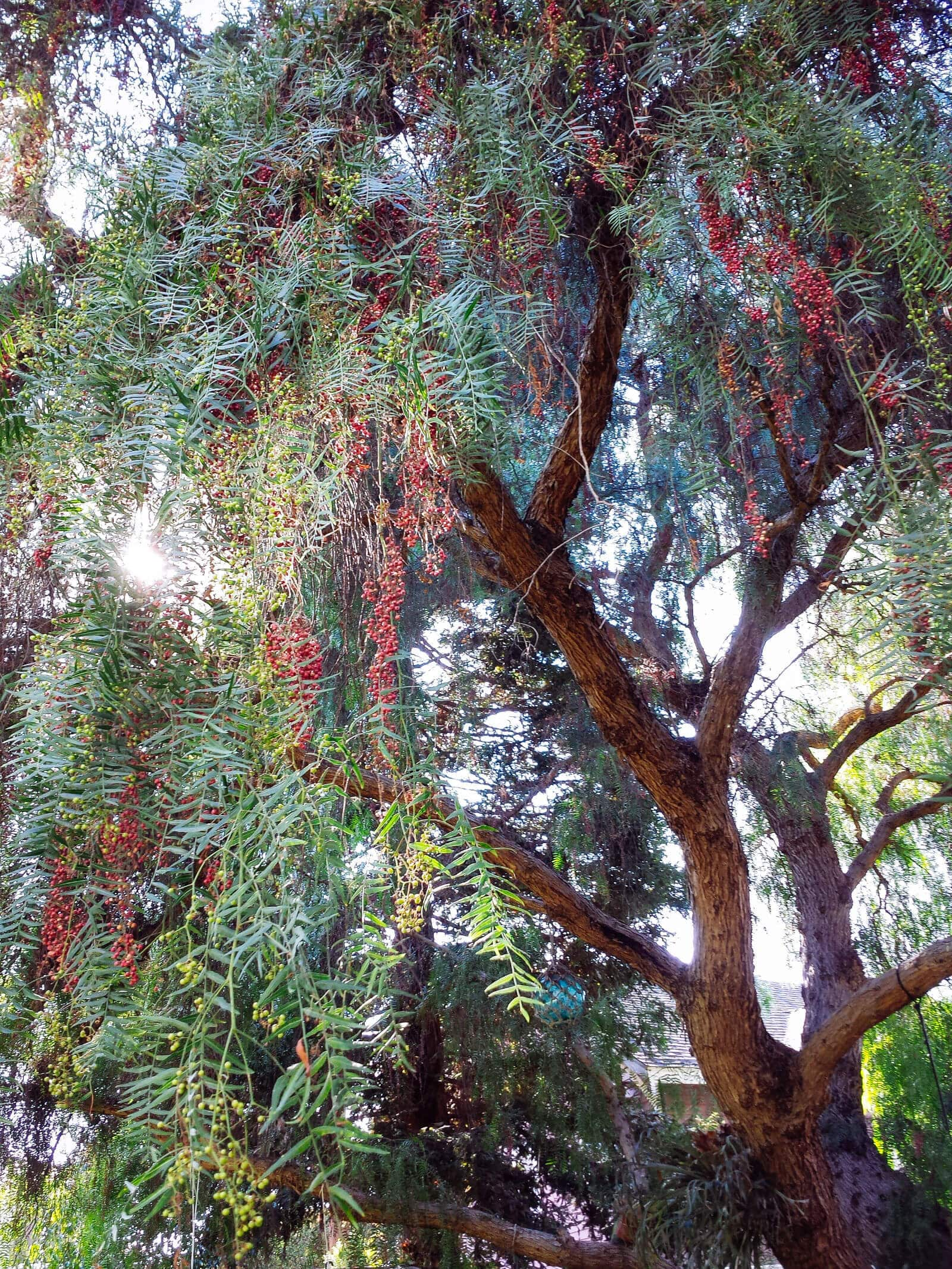 Pink pepper tree