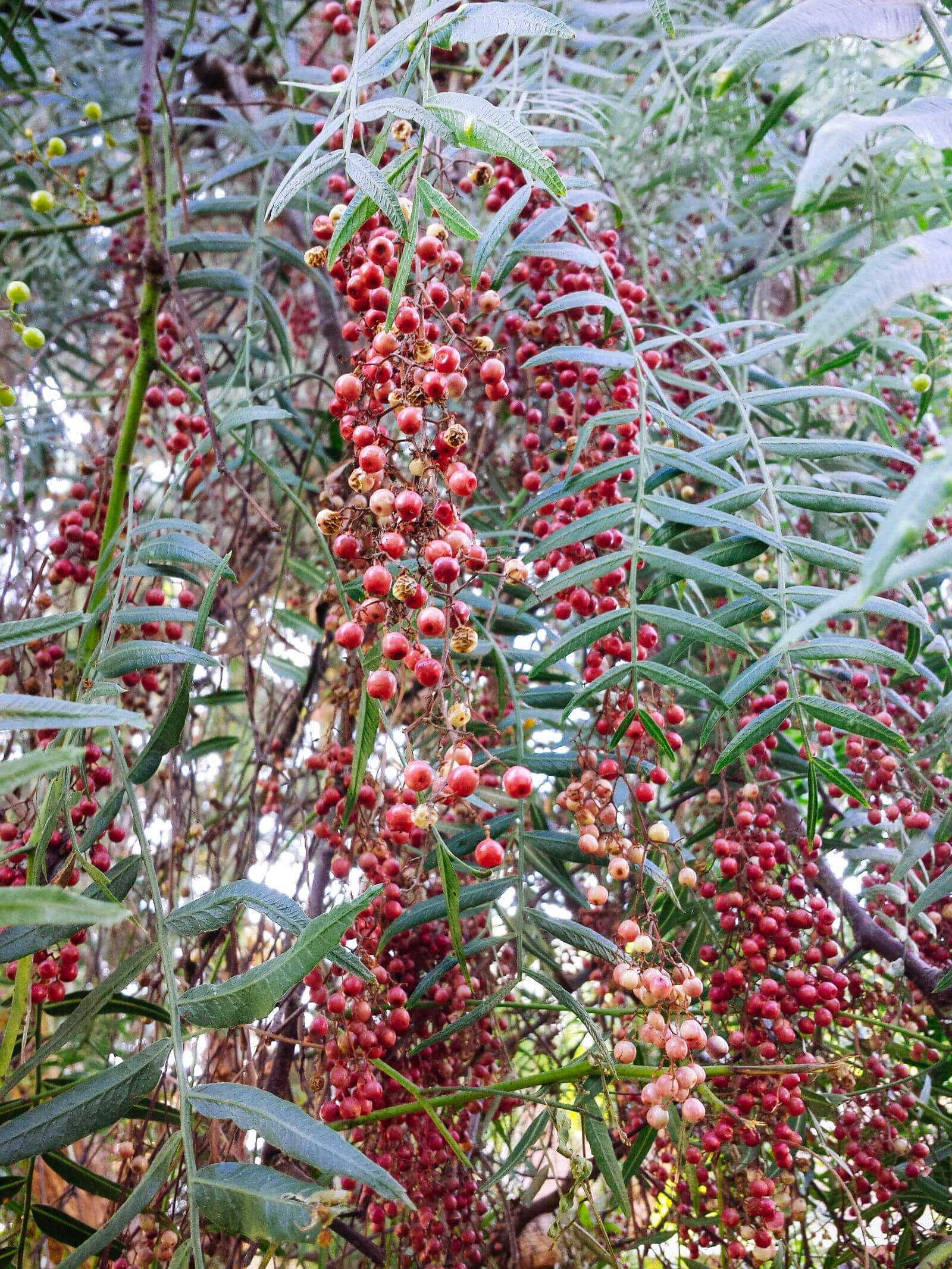 Foraging for Peruvian pink peppercorns