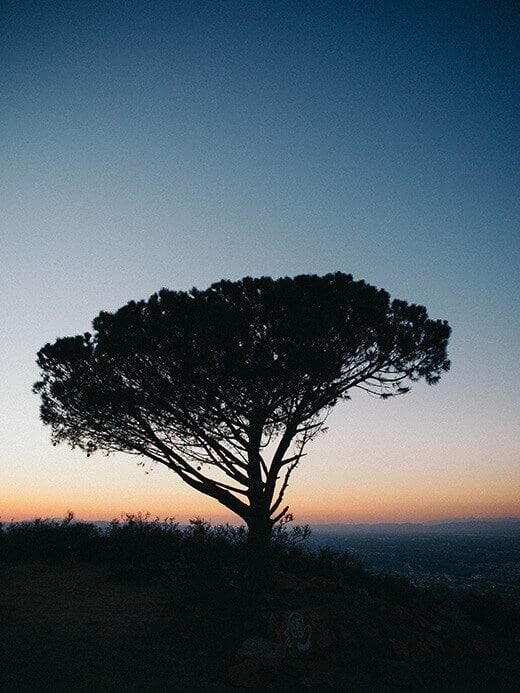 The Wisdom Tree at sunset