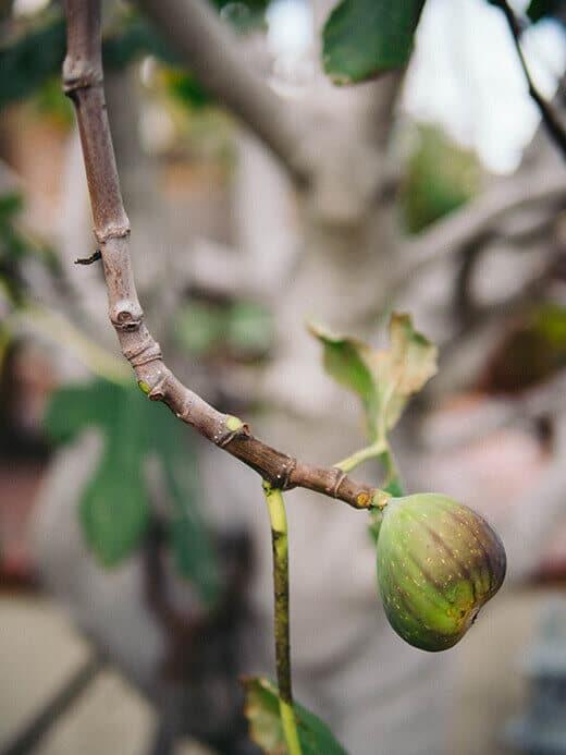 Errant fig ripening in winter