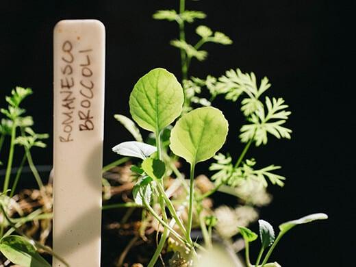 Winter seedlings