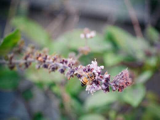 Winter bee on basil