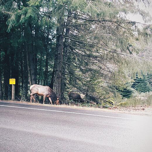 Elk by the roadside