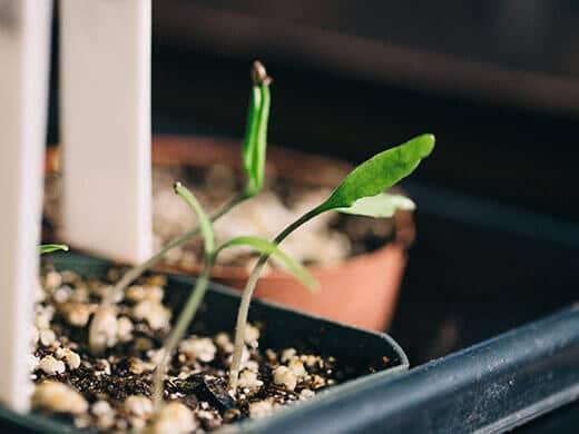 Heirloom tomato seedlings in a window