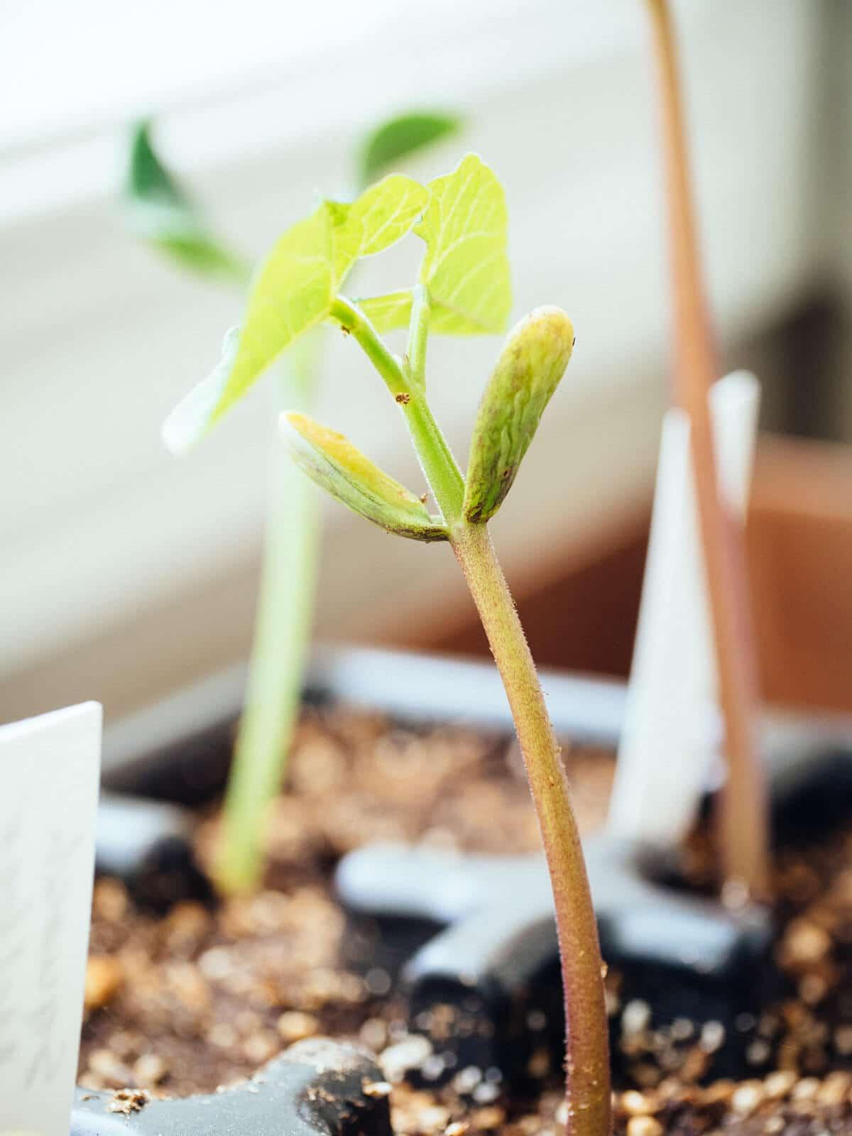 Bean seedling with great vigor