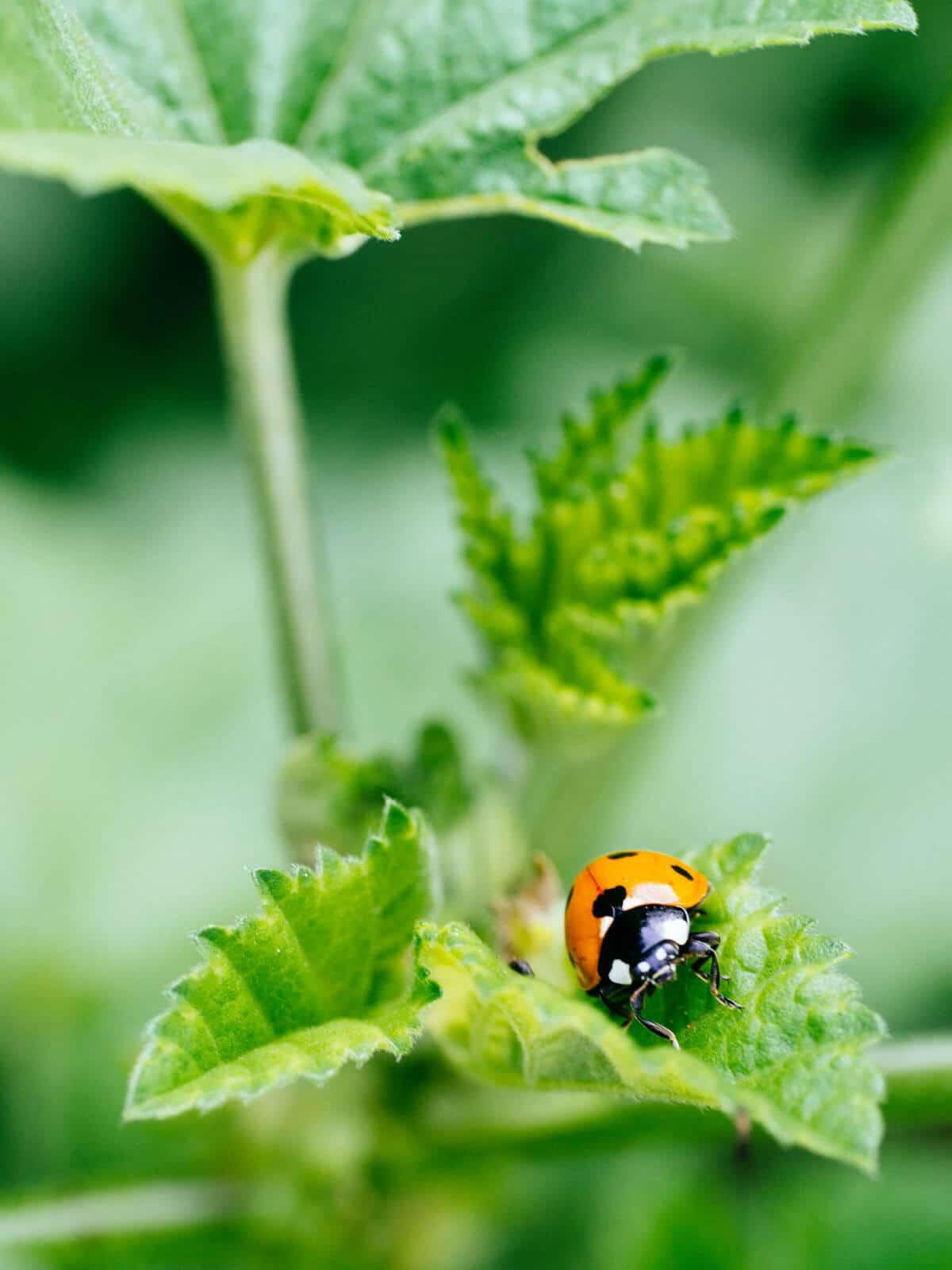 Ladybug on little mallow