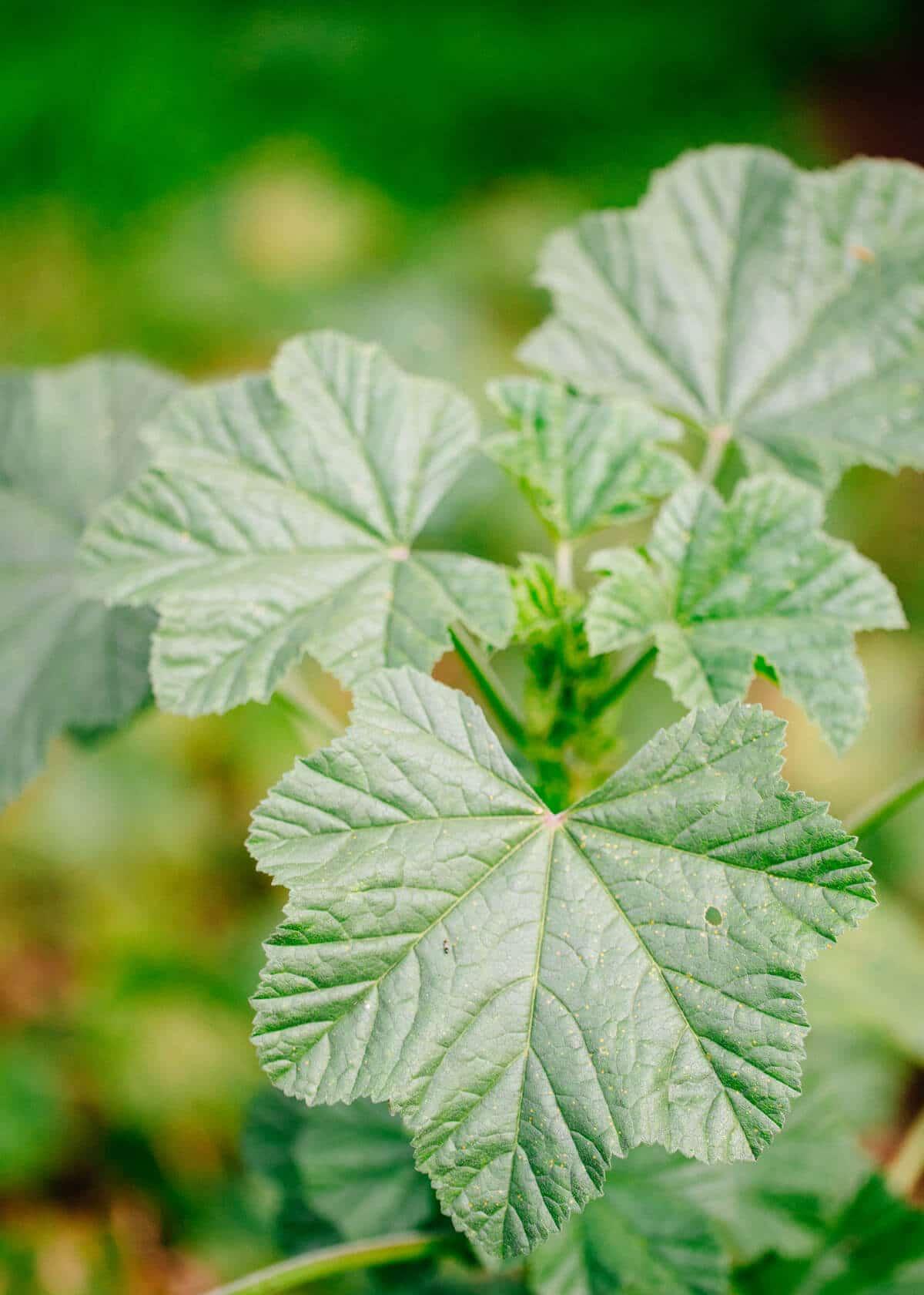 Cheeseweed has geranium-like leaves